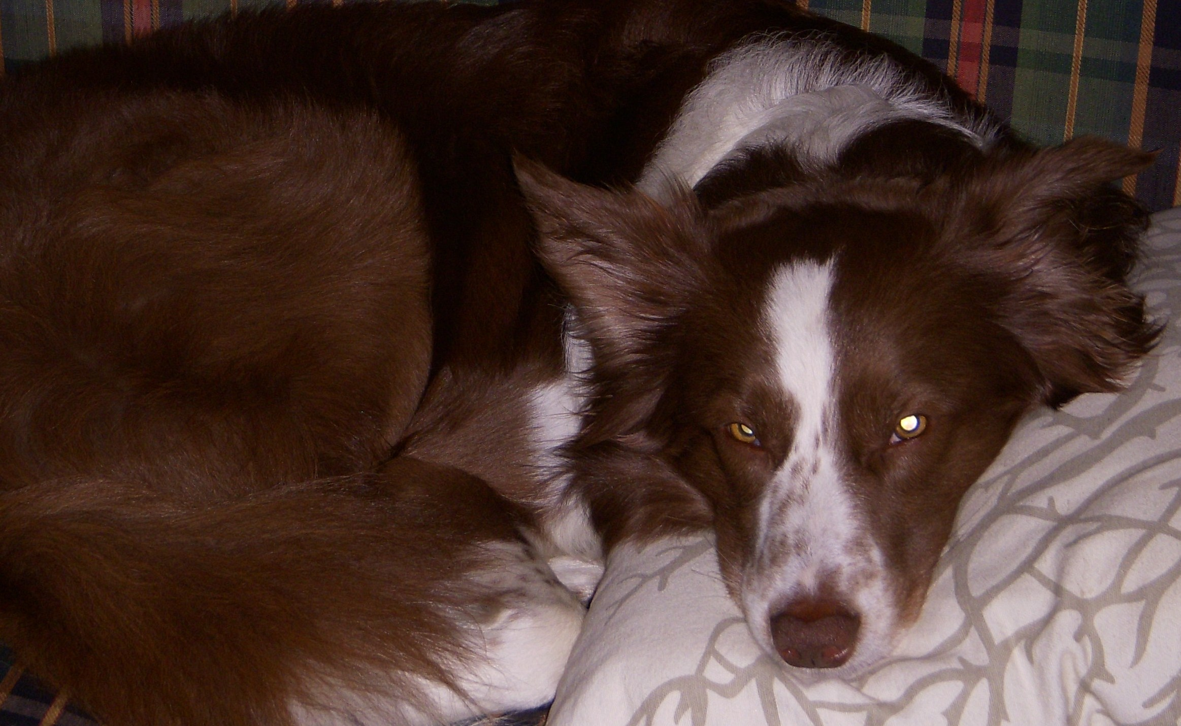 border-collie-pillow