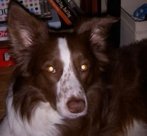 Border Collies are sensitive dogs