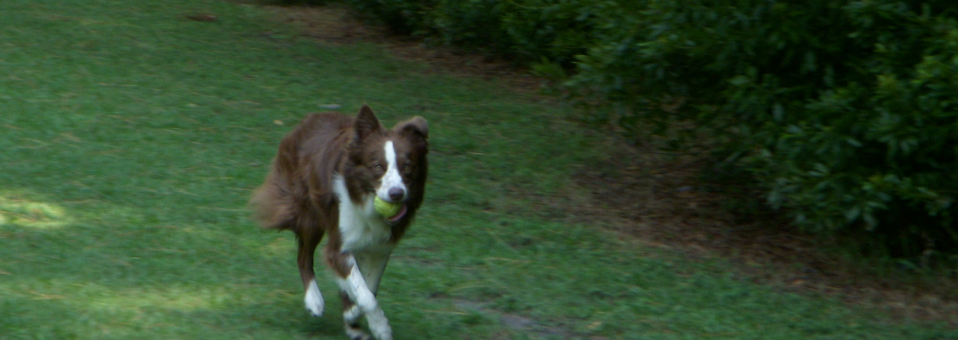 The Border Collie Tennis ball obsession