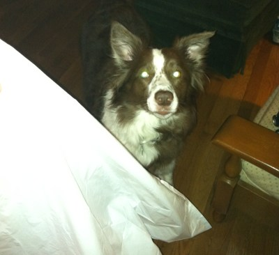 Border Collie Puppy Mistakes – The Trash Bag Incident
