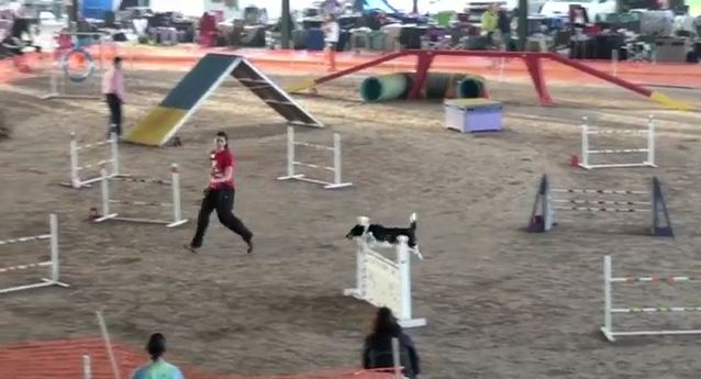 Border Collie Agility Training