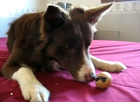 Border Collie helping a chick hatch