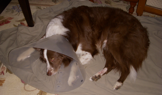 Dog After Neutering