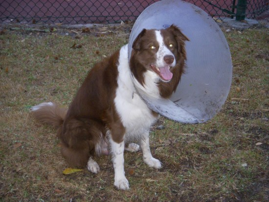 Dog a few days after neutering