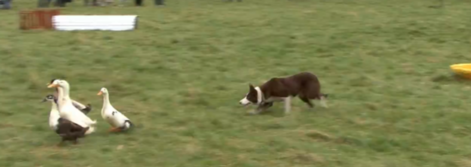 Border Collie herding ducks