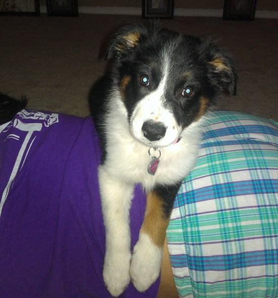 Luna the Border Collie Puppy - 2