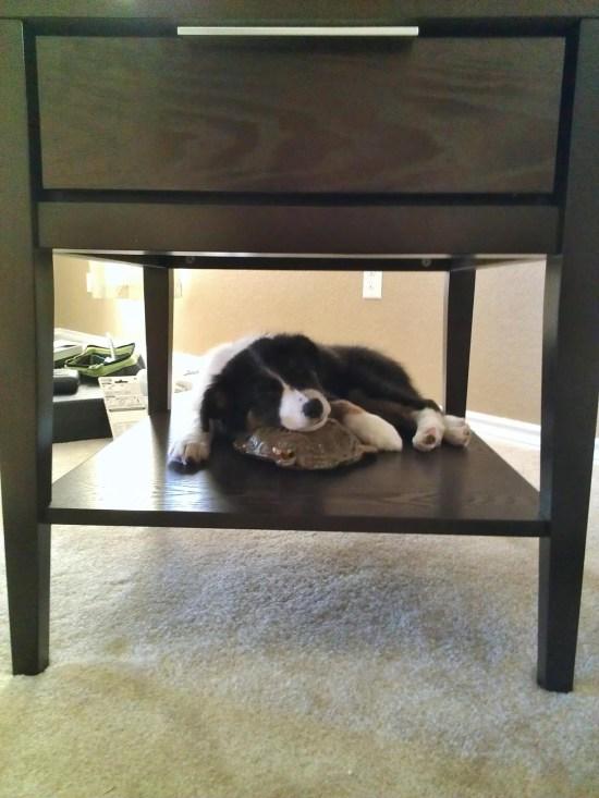 Luna the Border Collie Puppy - 1