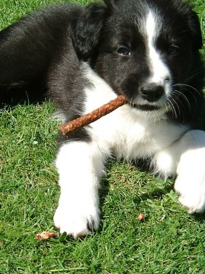 Border Collie Puppy playing with stick