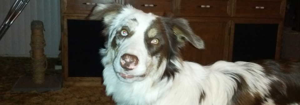 Cooper the Border Collie