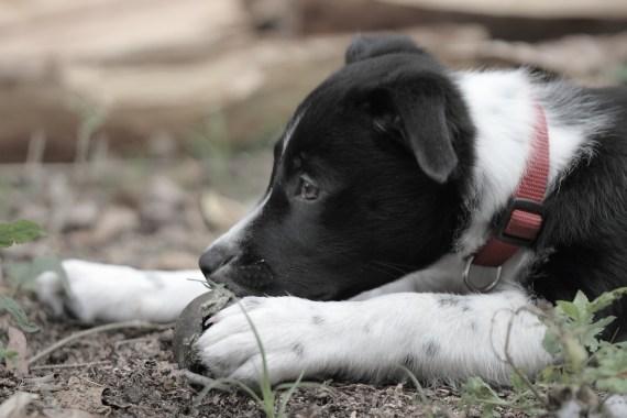 Emma the Border Collie Puppy - 1