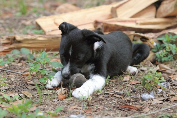 Emma the Border Collie Puppy - 2