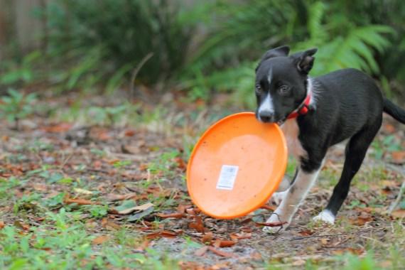 Emma the Border Collie Puppy - 3