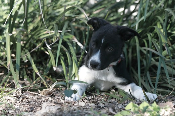 Emma the Border Collie Puppy - 5