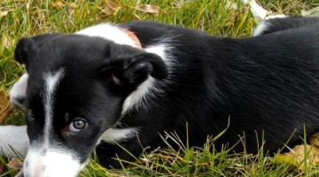 smooth hair border collie