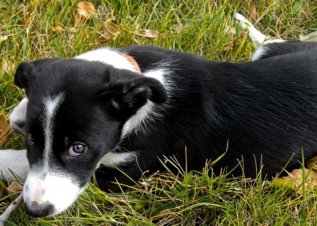 Denver the Border Collie