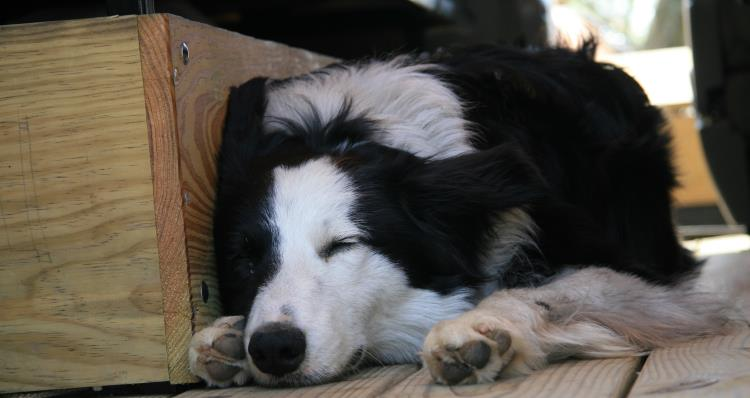 A tired Border Collie is a happy Border Collie.